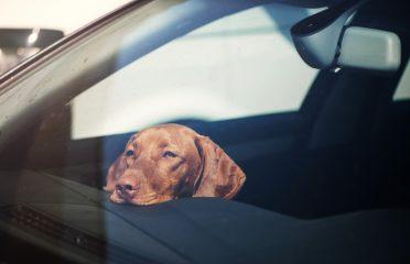 . În această situaţie, animalelor le pot fi fatale aceste doar câteva minute. Explicația este cât se poate de simplă: odată staționată, mașina se încălzește în ritm accelerat.